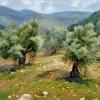 Olive Grove in Galilee